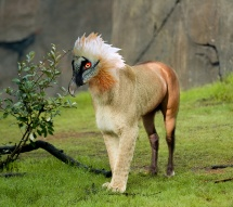 A female African LIon in the Predators of the Serengeti exhibit at the Oregon Zoo. © Oregon Zoo / Photo by Julie Cudahy